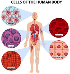 Cells of the human body vector image