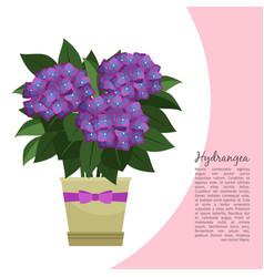 hydrangea plant in pot banner vector image