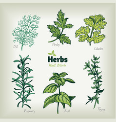 culinary herbs hand drawn vector image