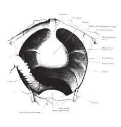 View of male pelvis showing bladder vintage vector