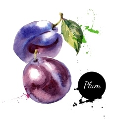 Hand drawn watercolor painting fruit plum on white vector image vector image
