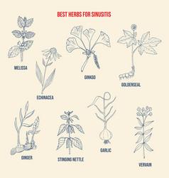 best herbal remedies for sinusitis vector image