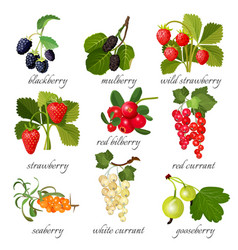 Black blackberry and mulberry wild strawberry vector