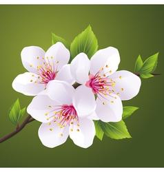 Blossoming branch of cherry tree sakura vector image