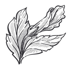 Closed bud hibiscus isolated sketch wild vector