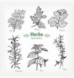 Culinary herbs hand drawn vector