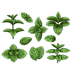 green mint leaves sketch peppermint herb vector image