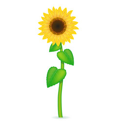 sunflower 02 vector image