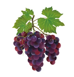 Realistic black grape with water drops vector image vector image
