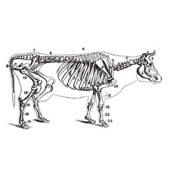 Cow skeleton vintage vector