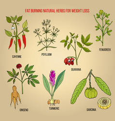 Best natural herbs for fat burning vector