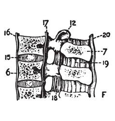 Lumbar vertebrae vintage vector