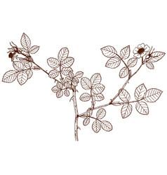 Rosa micrantha vector