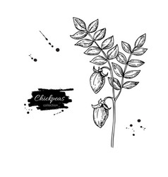 chickpeas plant hand drawn vector image vector image