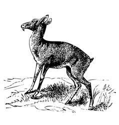 Siberian musk deer engraving vector