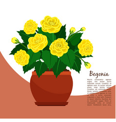 begonia indoor plant in pot banner vector image