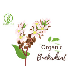 cereals - buckwheat vector image