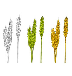 white green and gold corn vector image