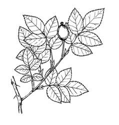 rosa pygmea vector image vector image