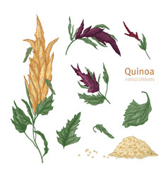 collection of quinoa flowering plants or vector image