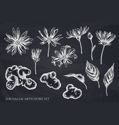 set hand drawn chalk jerusalem artichoke vector image