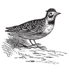 Horned lark vintage engraving vector image
