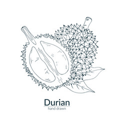 Durian whole and cut vector