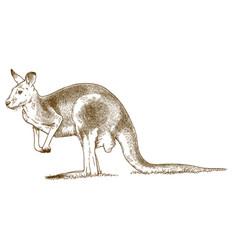 Engraving of grey kangaroo vector