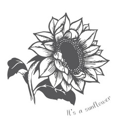 Ripe sunflower hand painted flower vector