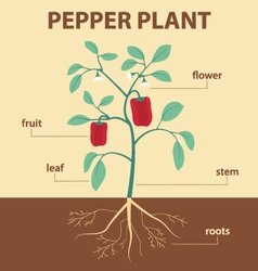 pepper plant vector image