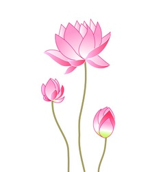 Pink lotus flowers vector