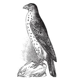 Coopers Hawk vintage engraving vector image