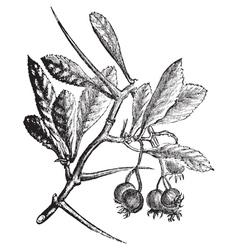 American Hawthorn vintage engraving vector image vector image