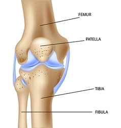 Cartoo of the human knee joint anatomy vector