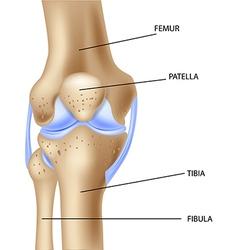 Cartoo of the human knee joint anatomy vector image