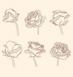 Rose flowers linear engraving graphic drawing set vector