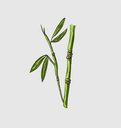 bamboo sketch vector image