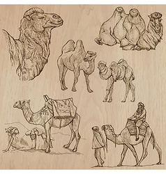 Camels - An hand drawn Converted vector