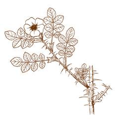 Rosa turcica vector