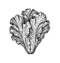 Ink sketch lettuce vector