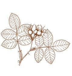 rosa villosa vector image vector image