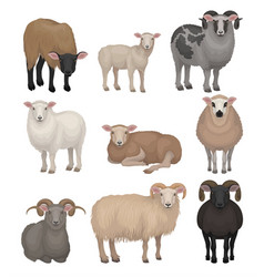 Flat set of cute sheeps and rams farm vector