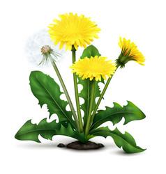 Realistic dandelion vector