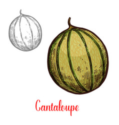 Cantaloupe fresh exotic fruit vector
