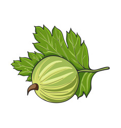 Hand drawn gooseberry vector