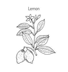 hand drawn lemon branch vector image