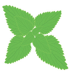Stinging nettle branch herbal medicine vector