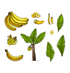 banana colorful sketch set with vector image