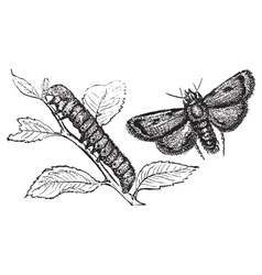 Turnip moth vector