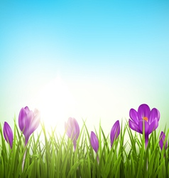 Green grass lawn with violet crocuses and sunrise vector image